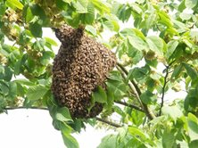 peebles - Found Swarming HONEY BEES? - call Beepkeepers on 07549166731 to collect a Honey Bee Swarm in Peebles, Peeblesshire or anywhere else in The Borders or Central Scotland